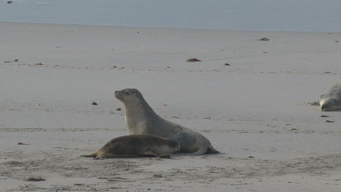Mother Sea lion walks away from a young sea lion Footage