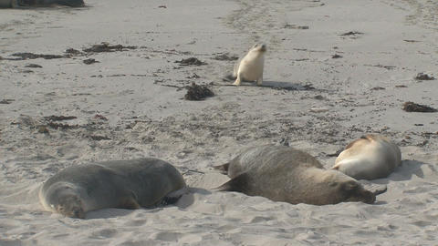 Young sea lion searching for his mother Stock Video Footage