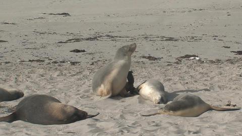 Sea lion awake Stock Video Footage