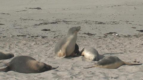 Sea lion awake Footage