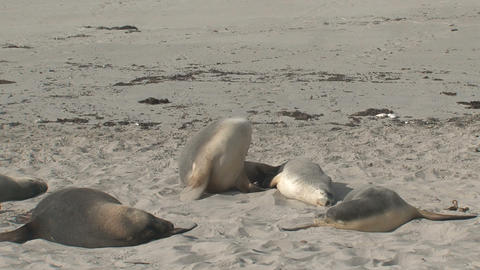 Sea lion awake Stock Video Footage