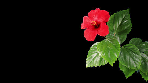 Blooming red Hibiscus flower Stock Video Footage