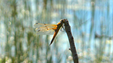 Yellow dragonfly closeup Stock Video Footage