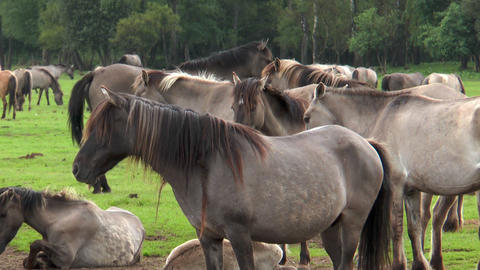 Closeup of wild living ponies Footage