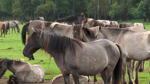 Closeup of wild living ponies Footage