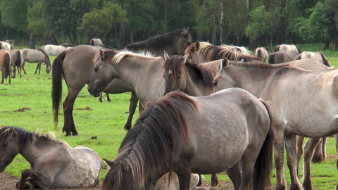Closeup of wild living ponies Stock Video Footage