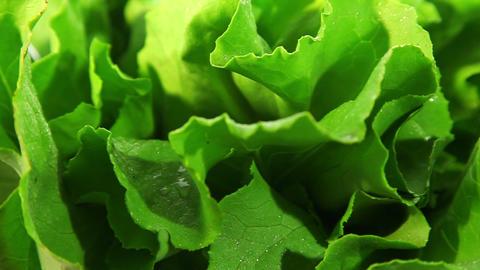 Lettuce leaf Stock Video Footage