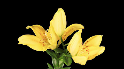 Blooming yellow lily flower buds ALPHA matte (Lilium Fifty Fifty), timelapse Footage