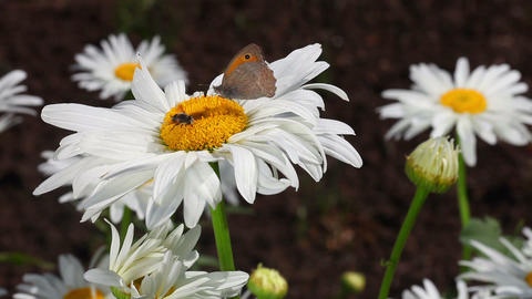 Butterfly and a bee Stock Video Footage