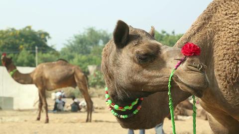 At the camel fair Footage