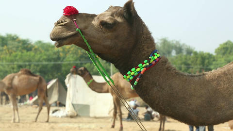 At the camel fair Stock Video Footage