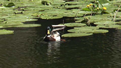 duck disappears Stock Video Footage