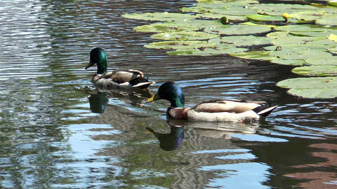 two ducks gliding through pond Stock Video Footage