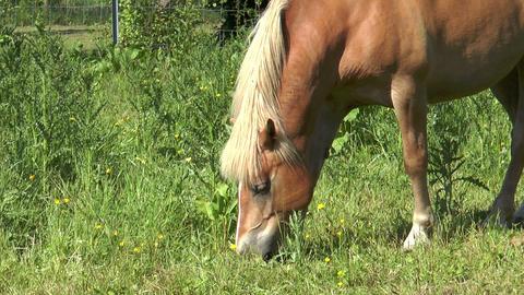 Beautiful haflinger horse closeup Stock Video Footage