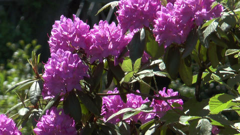 pink rhododendron swaying in wind Footage