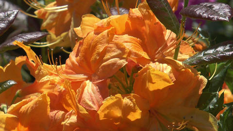 Yellow rhododendron closeup Stock Video Footage