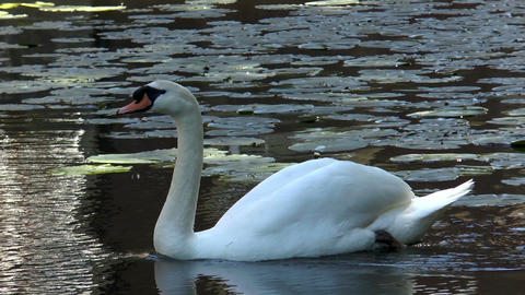 swan gliding through pond with water lilies Stock Video Footage