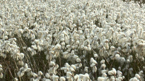 field of cottonsedge,Eriophorum angustifolium Stock Video Footage