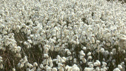 field of cottonsedge,Eriophorum angustifolium Footage