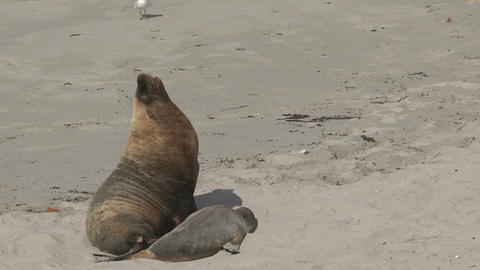 Big Sea lions yawning and walking away Stock Video Footage