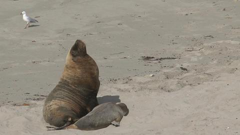 Big Sea lions yawning and walking away Stock Video Footage