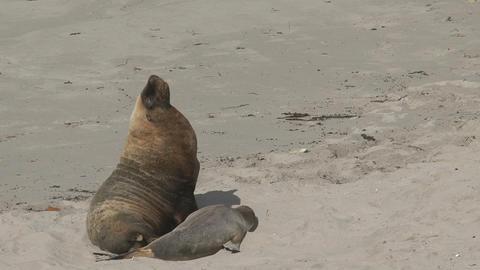 Big Sea lions yawning and walking away Live Action