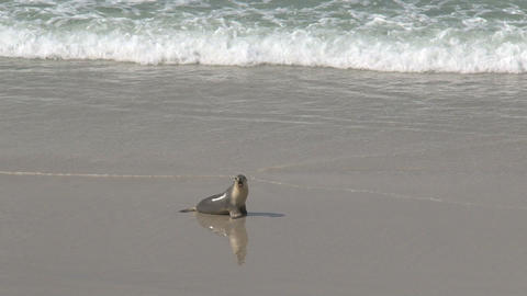 Baby sea lions running and screaming for his mothe Footage