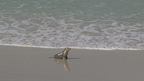 Baby sea lions running and screaming for his mothe Stock Video Footage