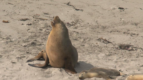 Sea lion yawning Stock Video Footage