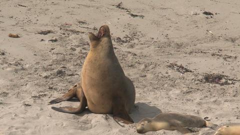 Sea lion yawning Stock Video Footage