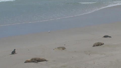 Baby Sea lion searching for his mother Stock Video Footage