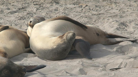 Sea lions sleeping together and an itchy nose Stock Video Footage