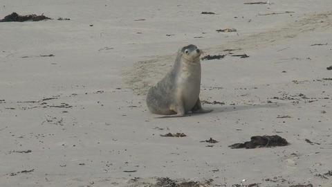 Sea lion walking on the beach Stock Video Footage