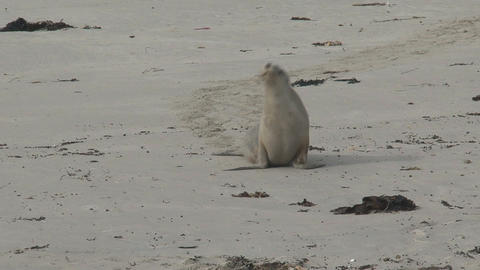 Sea lion walking on the beach Stock Video Footage