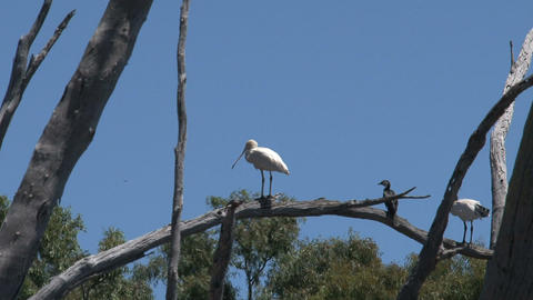 Spoonbill and cormorant in a tree Stock Video Footage