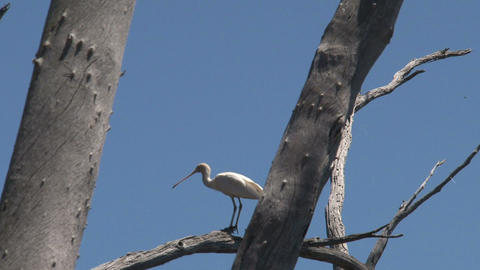 Spoonbill in a tree Footage