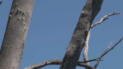 Spoonbill in a tree Stock Video Footage