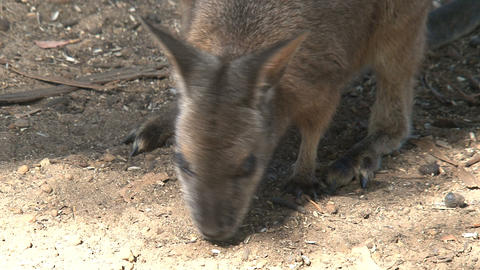 Wallaby eating close up Footage