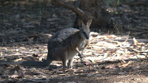 Wallaby looking for food Stock Video Footage