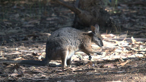 Wallaby looking for food Footage
