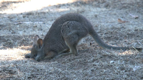 Wallaby diggs in the ground Stock Video Footage