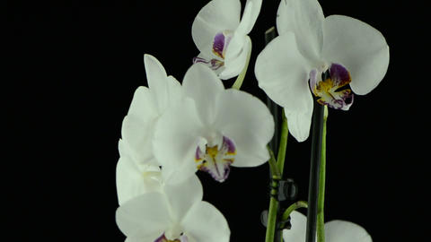 White orchid Footage