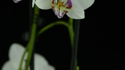 White orchid Stock Video Footage