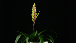 Yellow Bromelia plant Footage