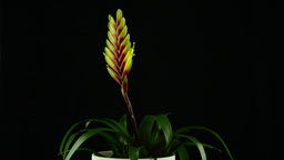 Yellow Bromelia plant Stock Video Footage