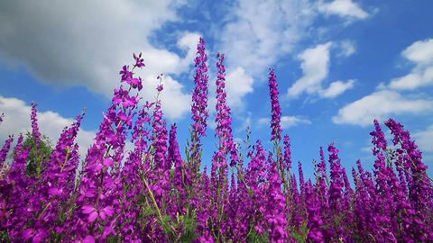 Field Of Pink Flowers And Blue Sky Footage