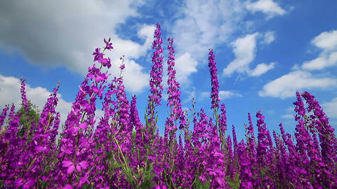 Field Of Pink Flowers And Blue Sky Stock Video Footage
