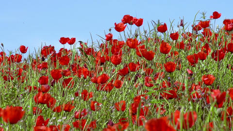 Panorama of Poppy Field Stock Video Footage