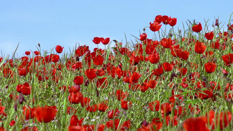 Panorama Of Poppy Field stock footage
