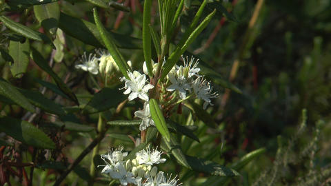 buckbean flower (Menyanthes trifoliata) Stock Video Footage